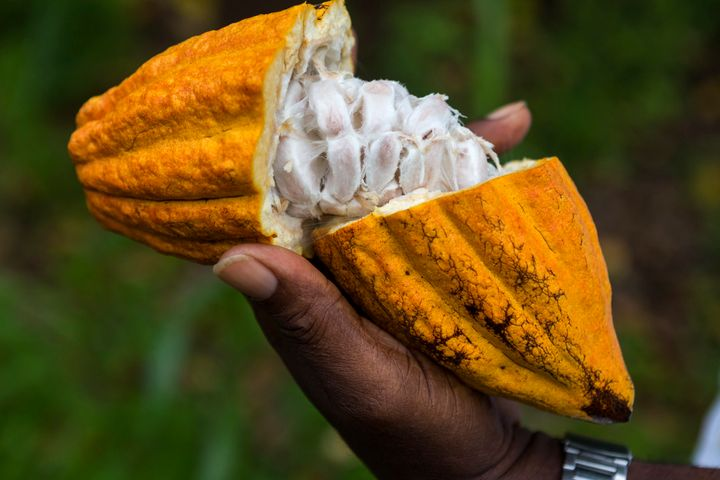 A cracked cocoa pod, revealing the pulp and seed inside.