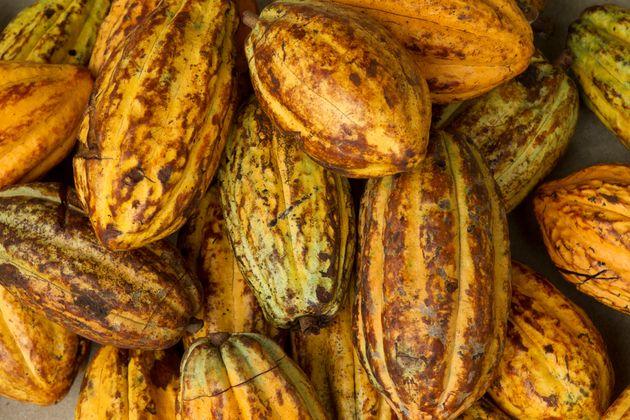 A pile of ripe cocoa