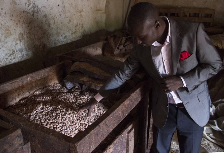 The fermentation of cocoa beans as seen in Uganda.