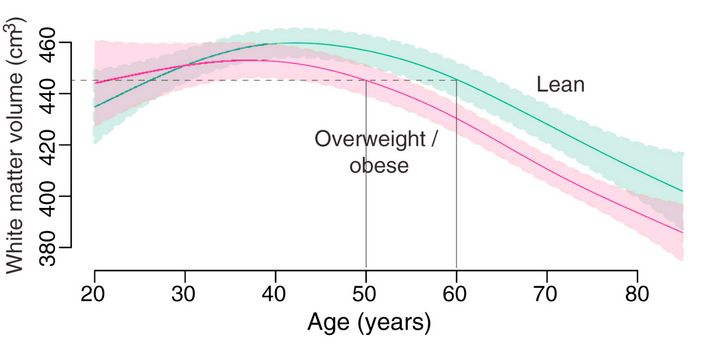 Age-trajectory of white matter volume for lean (BMI 18.5 - 25) and overweight (BMI 25 - 30) and obese (BMI > 30).