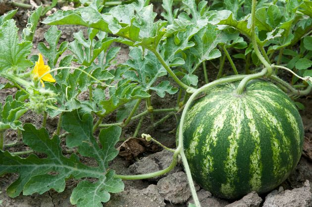 Watermelon growing on the