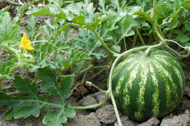Watermelon growing on the vine.