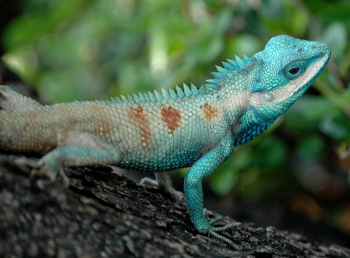 <i>Blue-crested Lizard.<br></i>No, we don't have 'lizard brains', but our brains did start off at the same place, and share s