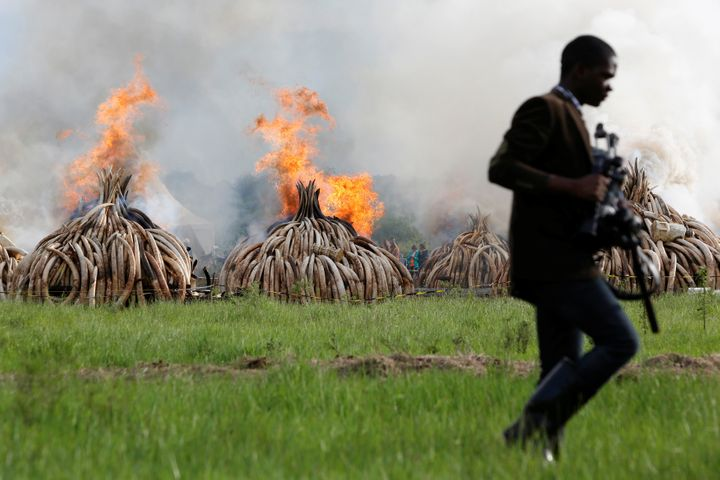 A journalist walks past burning stocks of an estimated 105 tonnes of ivory and a tonne of rhino horn confiscated from smuggle