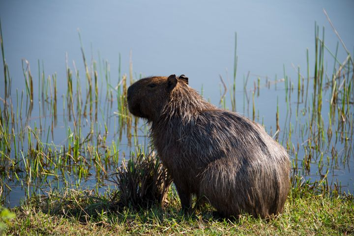 A capybara on the edge of a water hazard during a morning training session at the Rio golf course on Aug. 5.