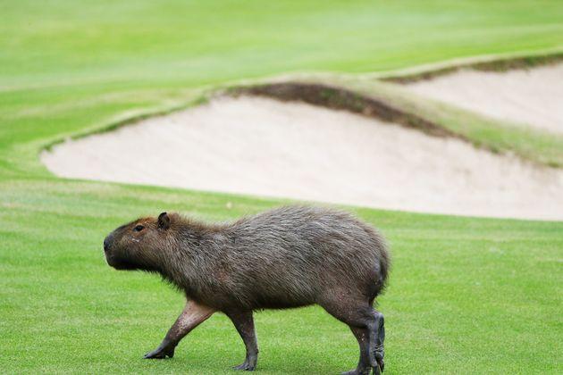 カピバラさん、リオオリンピックのゴルフコースなんて気にしないよーん(画像集)