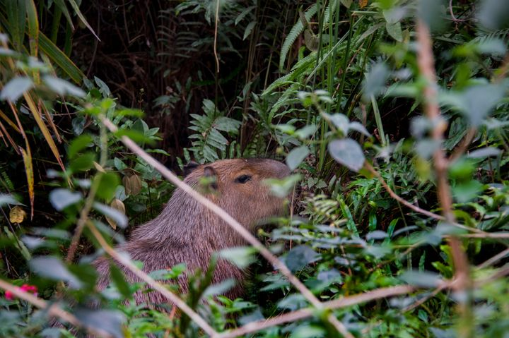 A camera-shy capybara in the bushes on the Rio golf course, wishing to be done with all this human nonsense.