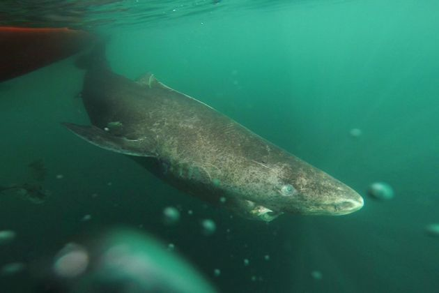 A Greenland shark that was part of a tag-and-release program in Norway and