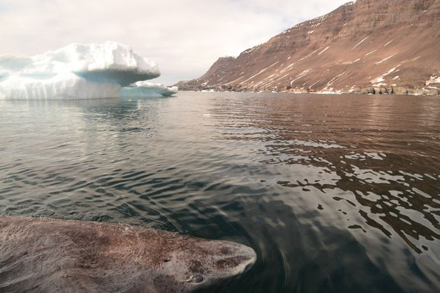 A Greenland shark in the icy waters of Disko Bay, western