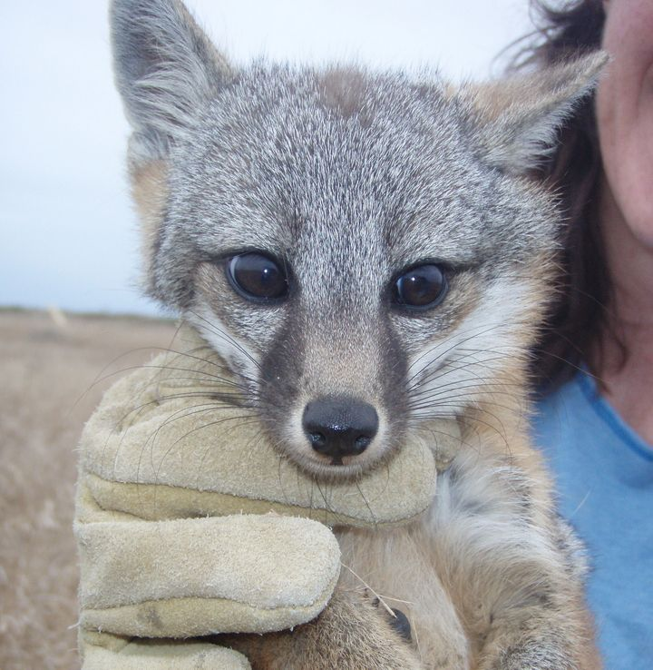 There are 6 subspecies of island fox, each named for the specific Channel Island they inhabit. Four of the subspecies -- San