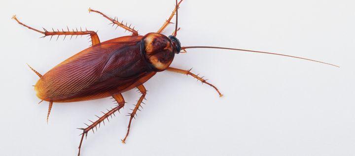 An American cockroach (<i>Periplaneta americana</i>).