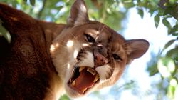 Preschooler Saved From Mountain Lion's Jaws By