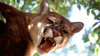'A mountain lion (Felis concolor), also known as a puma, is a stealthy visitor to the deserts. They are revered as the phantoms of the desert. Phantoms for while their tracks and remains of kills are visible, they are rarely if ever seen by humans or their prey. They will prefer to spend the days in areas of thick vegetation before striking out at night to thrash into a mule deer, quickly gashing its throat for the kill. The lion will eat its due, carefully burying the remaining carcass and its precious meat with vegetation to return for several days to satiate itself. Solitary roamers, they require a great deal of space to move about in and the encroaching human population is forcing them to co-habitate in closer quarters. ,   (Photo by Francis Apesteguy/Getty Images)'
