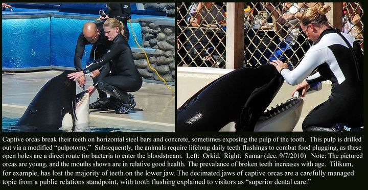 "Excerpt from study <a href=""https://theorcaproject.wordpress.com/2011/01/20/keto-tilikum-express-stress-of-orca-captivity/""><"