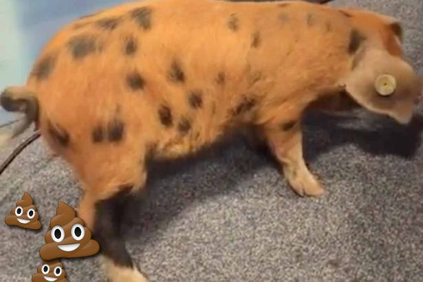 The Perils Of Broadcasting Live On Facebook Are Made Clear By This Pig's