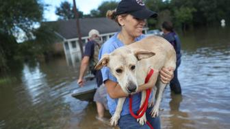 BATON ROUGE, LA - AUGUST 15:  Ann Chapman from the Louisiana State Animal Response Team carries a dog she helped rescue from flood waters on August 15, 2016 in Baton Rouge, Louisiana. Record-breaking rains pelted Louisiana over the weekend leaving the city with historic levels of flooding that have caused at least seven deaths and damaged thousands of homes.  (Photo by Joe Raedle/Getty Images)