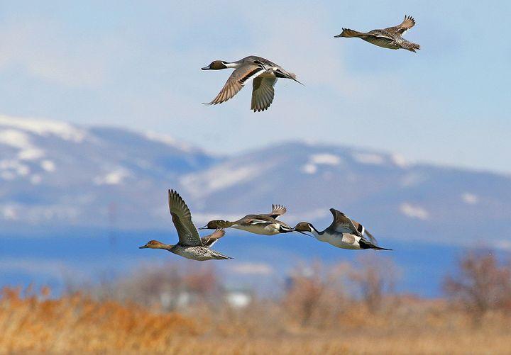 Northern pintails in flight at Bear River Migratory Bird Refuge in Utah.