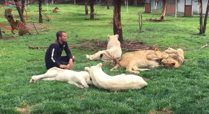 Eduardo Serio, who founded Mexico City's Black Jaguar White Tiger Foundation, is seen in the foreground of a lion and tiger w