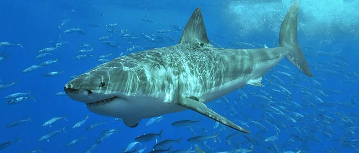 White sharks like this one gather in the north Pacific ocean at a place called theWhite Shark Café, one of the w