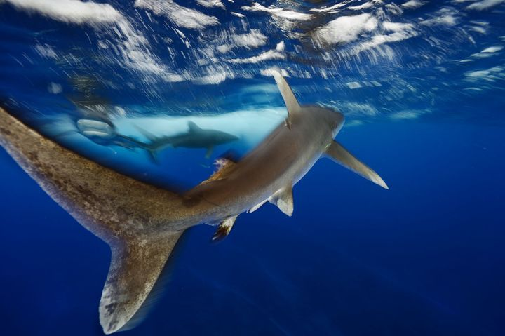 Oceanic whitetip sharks swim in the waters off Cat Island in the Bahamas. Considered the fourth most dangerous species of sha