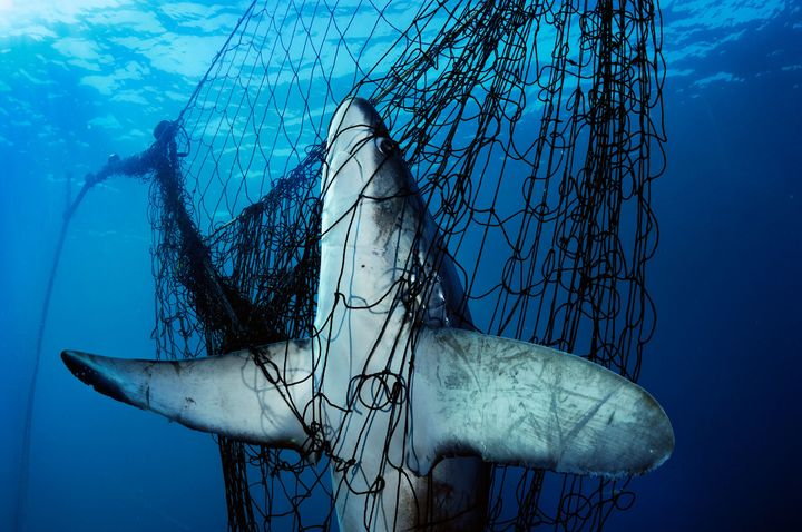A thresher shark is caught in a gill net in Mexico's Gulf of California in 2005. An estimated hundred million sharks are kill