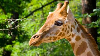 Kordofan giraffe (Giraffa camelopardalis antiquorum)