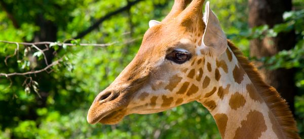 Poachers Are Gunning Down Giraffes Just To Cut Off Their Tails