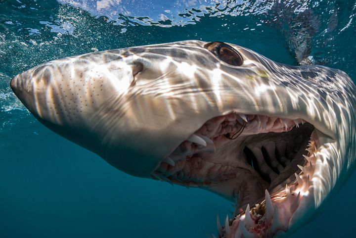 A shortfin mako shark in the waters off Auckland, New Zealand. Makos are endothermic sharks, meaning that they can generate h