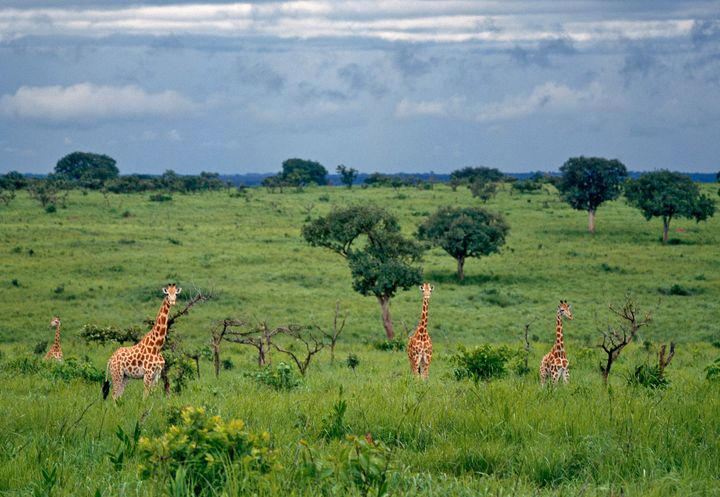 A group of northern savannah giraffes in Garamba National Park.