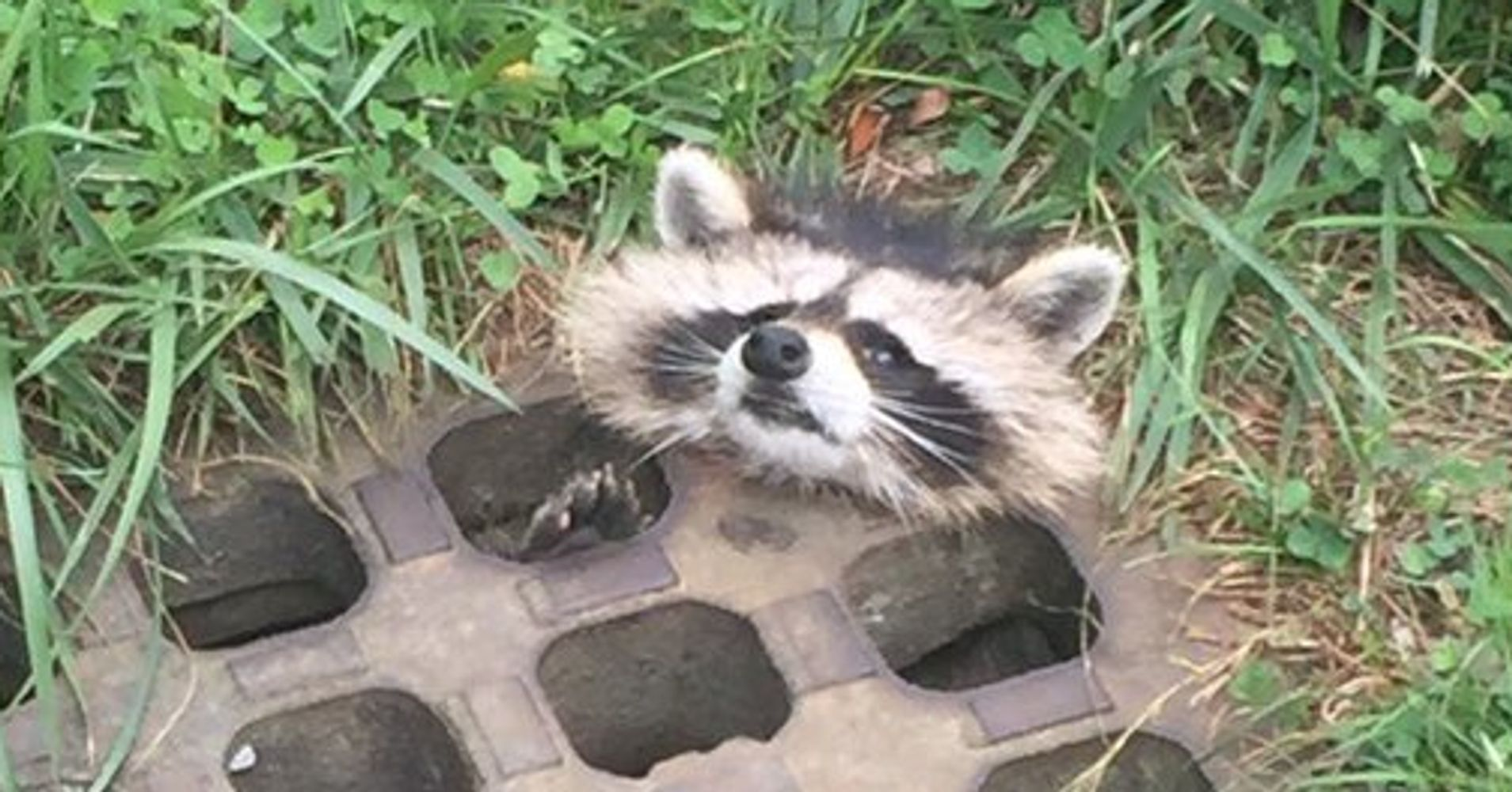 Adorable Little Raccoon Rescued From Sewer Drain Huffpost