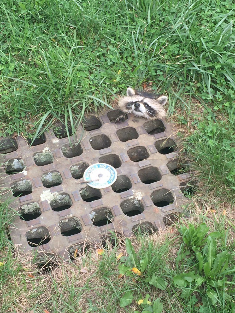 adorable little raccoon rescued from sewer drain