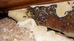 Honey Oozing Out Of Hospital Ceiling Announces Presence Of 110,000 Secret