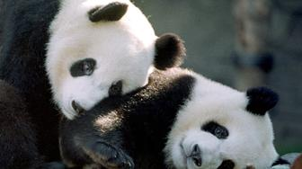ATLANTA, UNITED STATES:  Two rare giant pandas, Yang Yang (L) and Lun Lun play together in their new home at Zoo Atlanta in Atlanta, GA 18 November, 1999. The two pandas will make their home in Atlanta for the next 10 years.  AFP PHOTO/ STEVE SCHAEFER (Photo credit should read STEVE SCHAEFER/AFP/Getty Images)