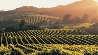 Vineyard in Napa Valley, Calif.