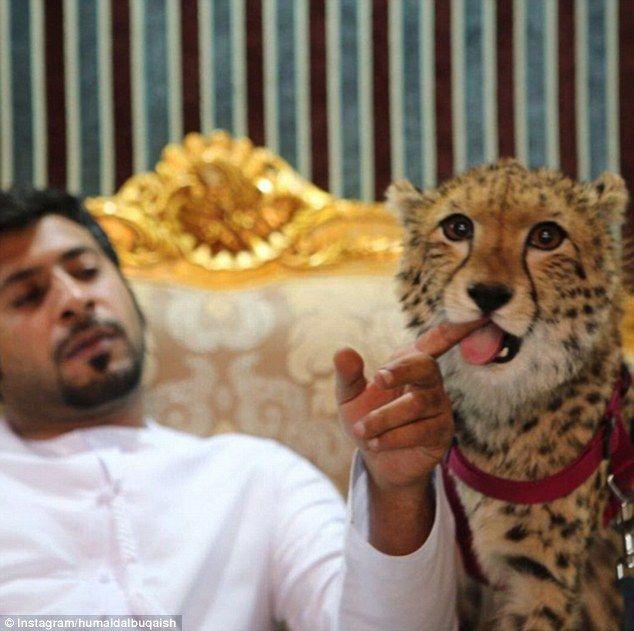 Humaid AlBuQaish poses with his one of his cheetahs