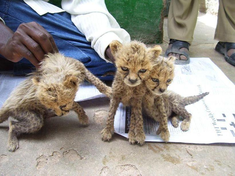 Cheetah cubs for sale