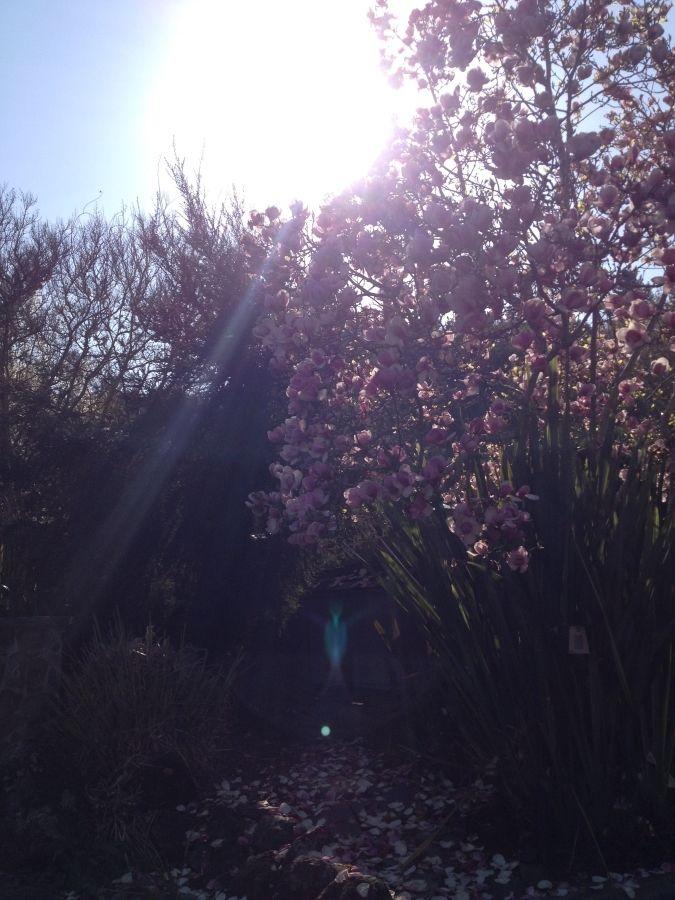 Blue Angel Magnolia Tree -  2/24/16 (#NoFilter)