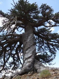 This tree is more than 1,075 years young.