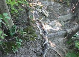 Massive Snakeskin Found Near Maine River Where 10-Foot Snake Was Recently Spotted
