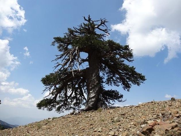 Scientists Think This 1,000-Year-Old Tree Is Europe's Oldest
