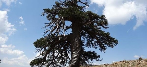 Scientists Think This Tree Is Europe's Oldest Inhabitant