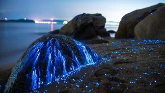 Bioluminescent sea fireflies glittering like diamonds on the rocks and sand. Okayama, Japan. July 2016