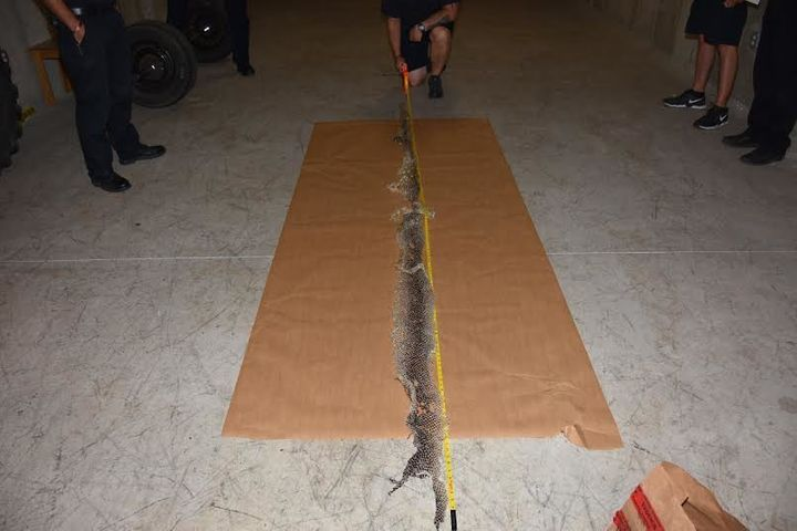 In this photo taken Monday, the skin is seen stretching about 12-feet in length. It's described as at least four-inches in di