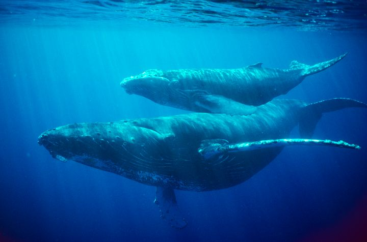 Humpback whale female and calf pictured off Hawaii.