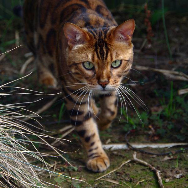 3e9f1485c8 This Striped And Spotted Cat s Fur Is Mesmerizing The Internet ...