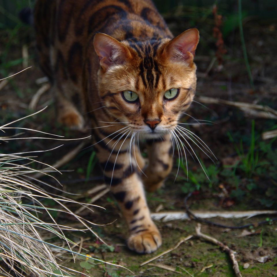 "Thor is a 3-year-old Bengal cat, a crossbreed of a domesticated cat and an <a href=""http://www.wildcatsanctuary.org/education"