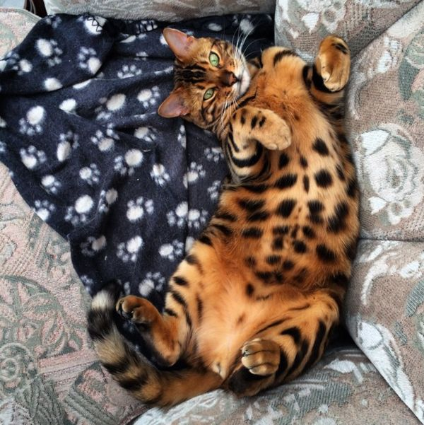 Luckily for Thor, who has both stripes like a tiger and spots like a leopard, he appears to be very well-loved.