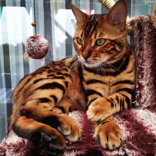 Toygers Domestic TigerCats Are a Unique Exotic Breed of