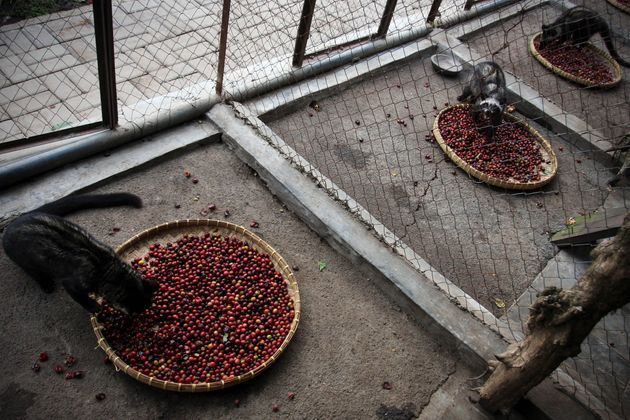 Captive civets are sometimes fed only coffee cherries, the fruit that produces coffee beans. In the wild,...