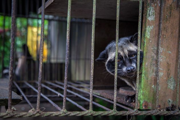 A captive civet, likely taken from the wild, looks out from a wire cage where it is kept to produce kopi...